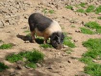 Schwein von Ka Wegner
