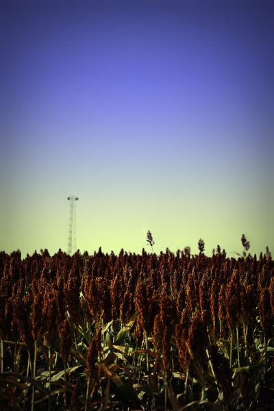 Sorghum-fields-forever-8-x-12-dot-1