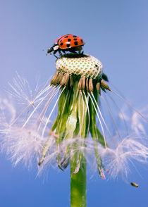 Marienkäfer Pusteblume - Ladybugs Dandelion by Falko Follert