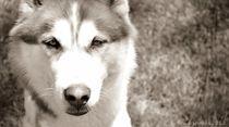 My Husky by Bradley Sheaks
