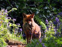 Wild Red Fox  von John McCoubrey