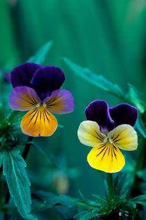Viola Twins 228 von Patrick O'Leary