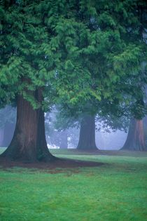 Cedars in Fog 592 by Patrick O'Leary