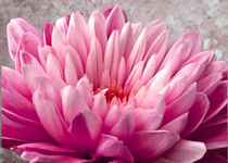 Pink Chrysanthemum von John Biggadike