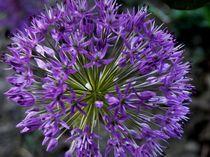 Allium by Ariane Kujas