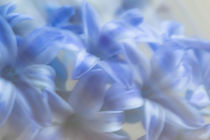 Blue Blossoms von Michael Schickert