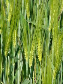 Getreide im Mai von Ka Wegner