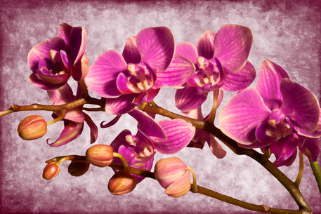 Purple-orchid