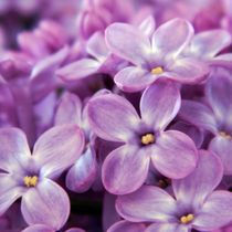 Sweet-lilac-2