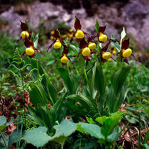 cypripedium calceolus  -  frauenschuh by helmut krauß