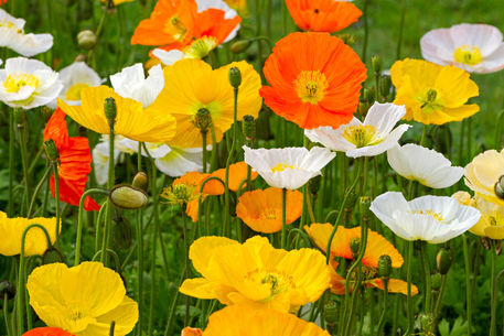Alpine-poppies0262