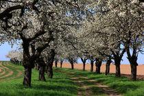 Kirschblüten by Wolfgang Dufner