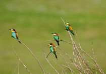 Bee-eater-10