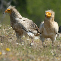 Egyptian Vultures in meadow by Cliff  Norton