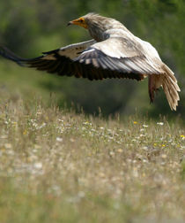 Egyptian Vulture in flight by Cliff  Norton