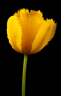 Tulipa Jaune by Martin Williams
