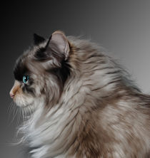 Portrait of a Ragdoll Cat von Kathleen Stephens