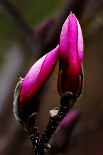 Pair of Magnolia Buds von Kathleen Stephens