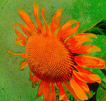 Golden Sunflower by Kathleen Stephens