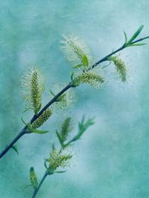 willow catkins by Priska  Wettstein