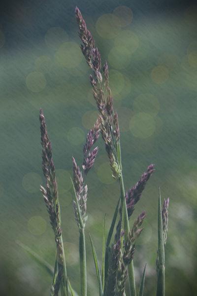 Grasshalme