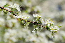 Cherry-tree-branch-copy