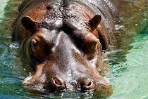 Hippo1-copy