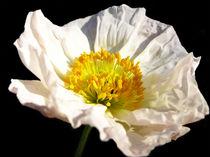 White Poppy von Mary Lane