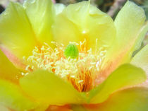 Yellow Prickly Pear by Mary Lane