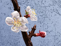 Apricot Blossoms von Melody Rogers