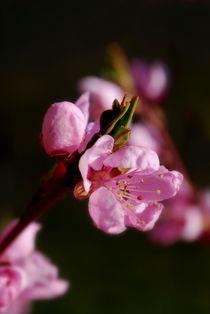 Pfirsichblüte by tinadefortunata