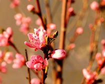Pfirsichblüten  von tinadefortunata