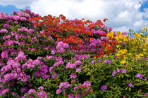 Rhododendron-h7698