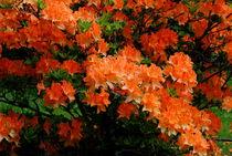 Rhododendren by tinadefortunata