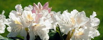 Rhododendron by tinadefortunata