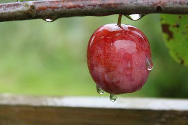Juicy-plum-by-lotusaqua-d4celfo12