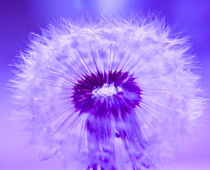 Purple von Stephen Reid