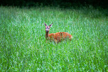 Latvian Deer by Bianca Baker