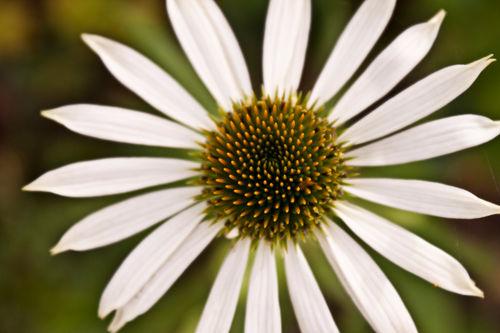 Daisy-by-lotusaqua-d4cp2ui
