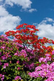 Rhododendron-v-7713