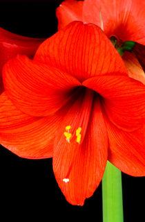 hippeastrum (amaryllis, ritterstern) von helmut krauß