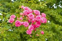 rosarote rosen von helmut krauß
