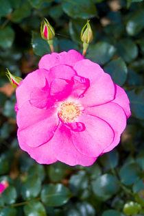 rose mit knospen von helmut krauß