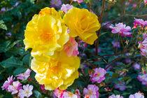 Rosa-rose-h0938
