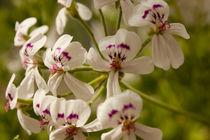 Small Stars von lotusaqua
