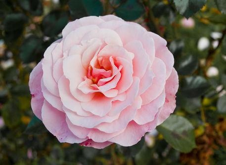 Rosa-rose-h0921