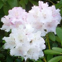 Dort, wo der weiße Rhododendron wieder blüht. von Bernd Vagt
