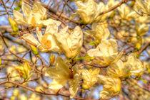 Yellow magnolias by Maks Erlikh