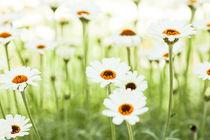 Spring Meadow - Frühlings Wiese von Tobias Pfau