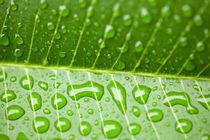 Wassertropfen, Waterdrop - Fresh green leaf  by Tobias Pfau